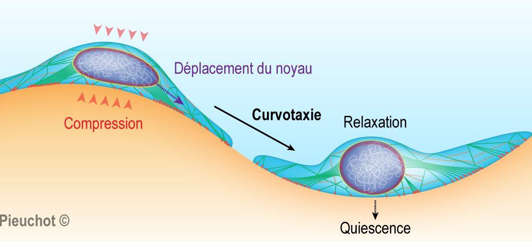 La curvotaxie – ou comment la courbure du substrat influence la migration des cellules